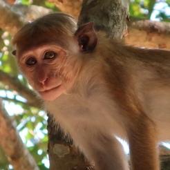 Macaque à toquer