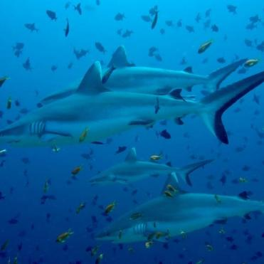 Sharks - Photo Courtesy of Rasdhoo Dive and Watersports